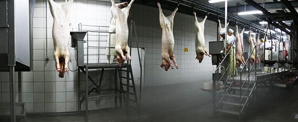 Технологии убоя животных, скота: свиней, птиц