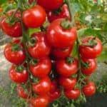 Низкорослые томаты без хлопот
