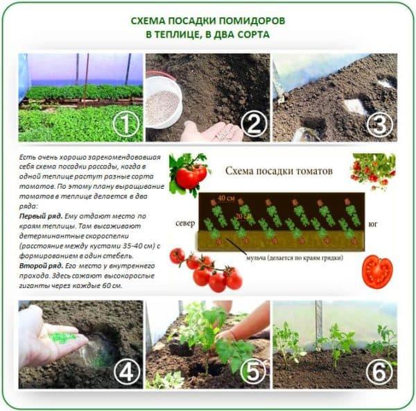 томаты низкорослые для открытого грунта без пасынкования
