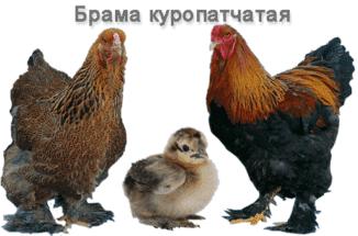 brama-kuropatchataya-predstaviteli-porody