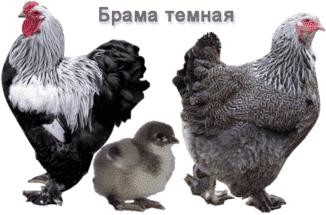 brama-temnaya-predstaviteli-porody