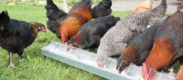 маран порода кур