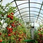 Выращиваем лучшие сорта помидоров в теплицах из поликарбоната