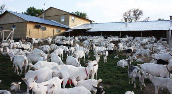 пастбищное козоводство