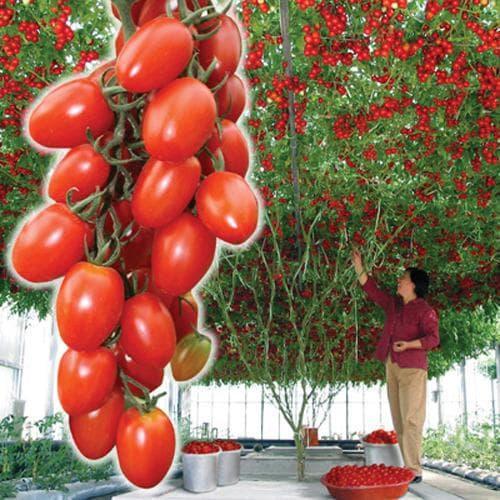 лучшие сорта томатов для теплиц из поликарбоната
