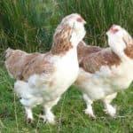 Порода кур фавероль: французы на птичьем дворе