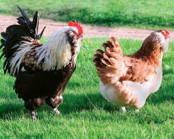 фавероль порода кур