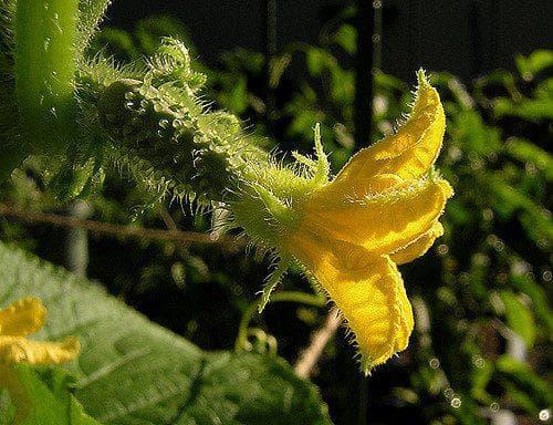 огурцы семена лучшие сорта для открытого грунта
