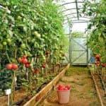 Сорта помидор для теплиц из поликарбоната или помидоровый рай