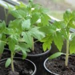 Как вырастить здоровую и крепкую рассаду помидор в домашних условиях