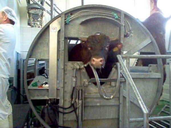 устройство для оглушения скота