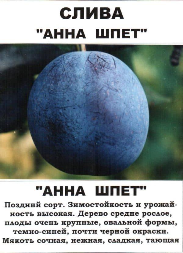 401038_sazhenczy_slivy_sorta_anna_shpet