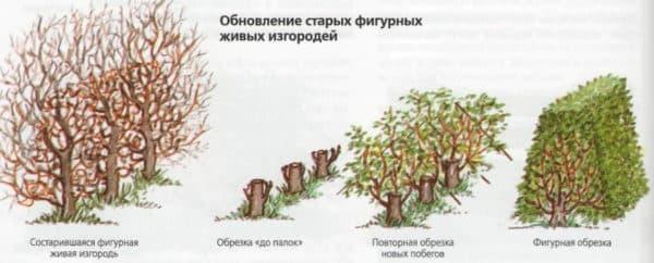 Живая изгородь, быстрорастущая многолетняя